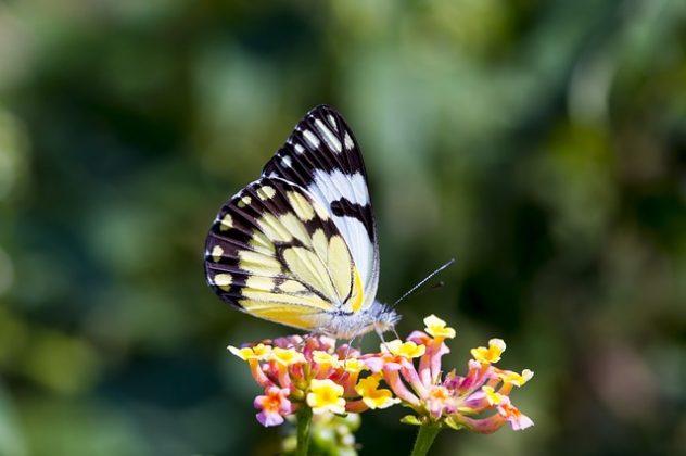 蝶 チョウ 夢占い