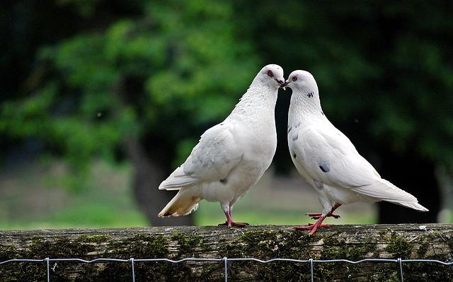 鳩 夢占い
