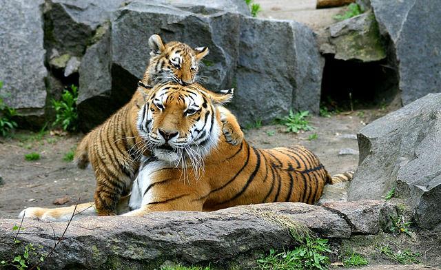 虎 トラ 夢占い