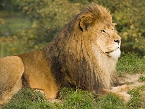 ライオン 夢占い