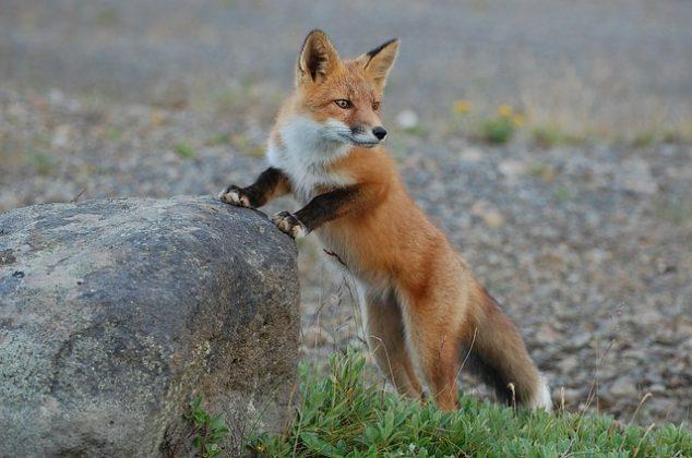 狐 夢占い