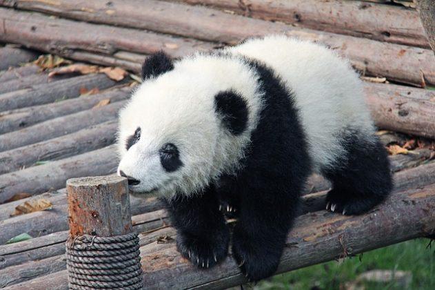 パンダ 夢占い